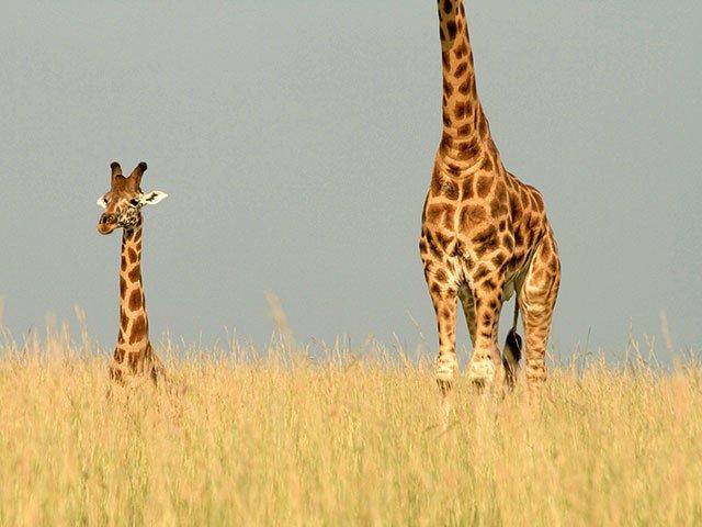 NaturVision Giraffen