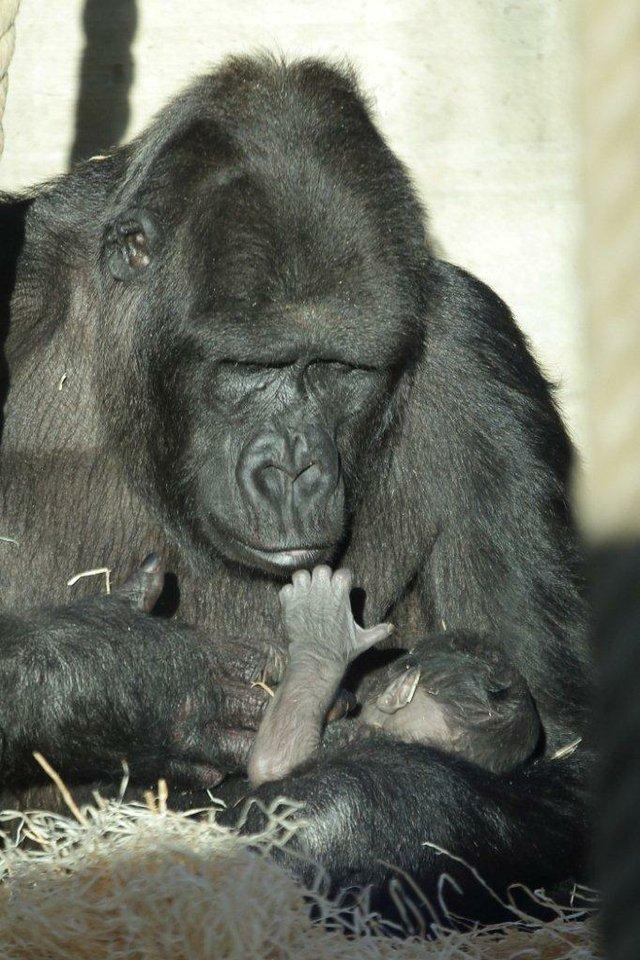 Zweites Gorillababy