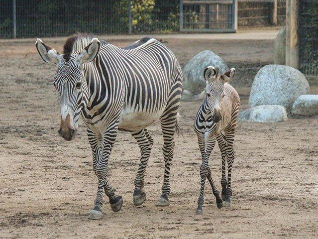 Zwei Fohlen der Grévy-Zebras gehen auf Streife