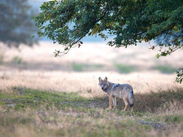 Der Wolf in Baden-Württemberg