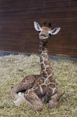 giraffenbaby.jpg