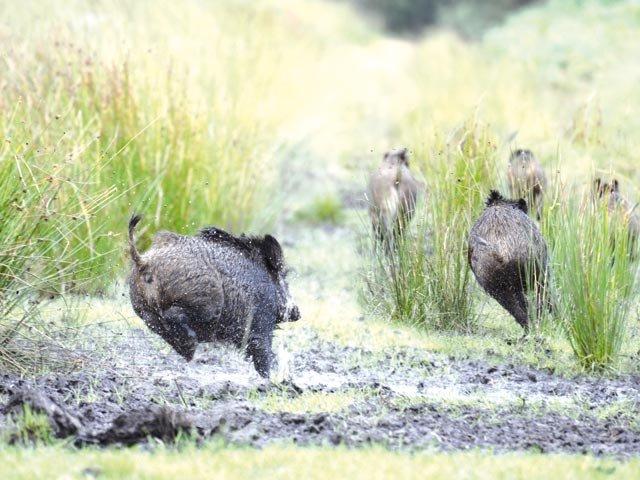 Wildschweine in Eberbach
