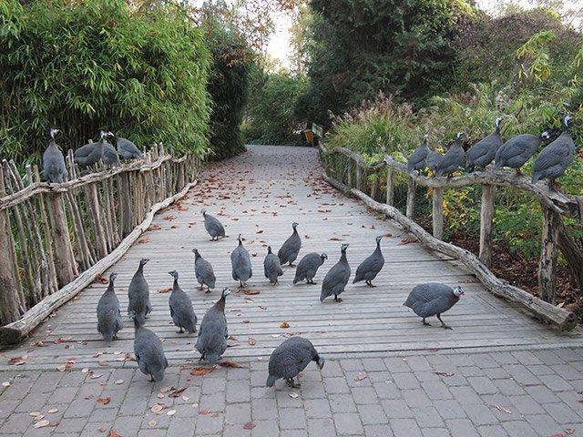 Perlhühner