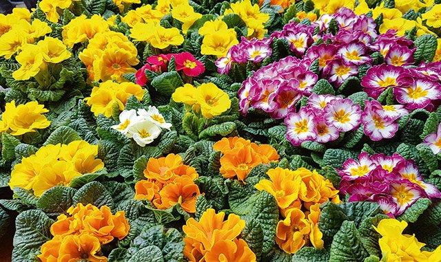 Primelesfest Blumen