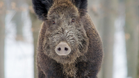 Wildschwein-(c)-Pixabay.png