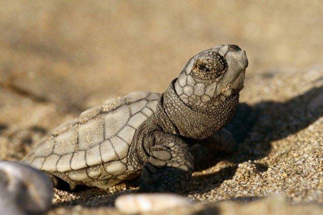 Eine kleine Meeresschildkröte, frisch aus dem Ei geschlüpft.