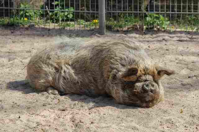 Drei Kune-Kune-Schweine leben seit Mitte April 2015 auf dem Schaubauernhof der Wilhelma. Typisch für die Rasse sind ihre kurzen Schnauzen